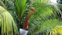 Jamaica 2014 Chive's Dab Off The Slab and Ninja Dab