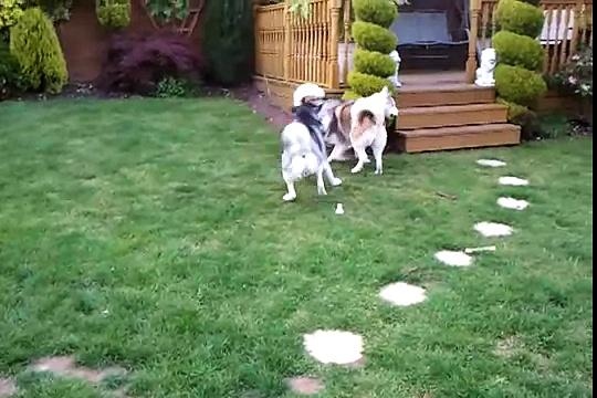 Huskies Playing!!!
