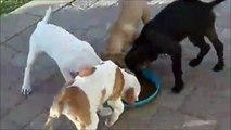 Ces chiens ont une coutume très bizarre au moment du repas...