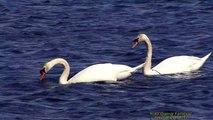 KNÖLSVAN  Mute Swan  (Cygnes olor)  Klipp - 1175