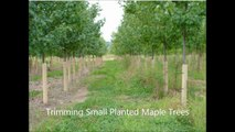 ...........Trimming Small Planted Maple Trees...........