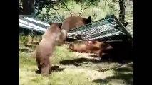 3 bébé ours et leur maman jouent sur un Hamac
