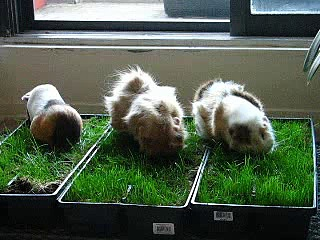 Hungry Guinea Pigs