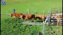 Des vaches qui retrouvent les pâturages font rire Internet