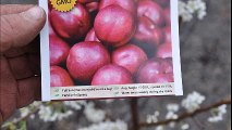 Fruit trees for residental landscape spaces...on sale     The Bruce Plum Trees  at HH Farm   215 651 8329