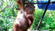At the International Animal Rescue Orangutan Center, orphaned baby orangutans...