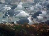 15.11.12 Goéland pontique (Larus cachinnans, Caspian Gull)