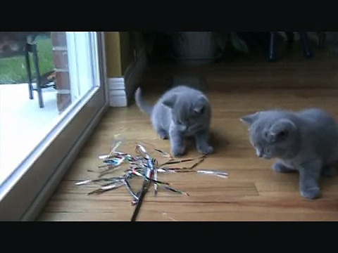 British Shorthair kittens 5 weeks