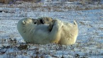 Polar Bear Yoga in Churchill, Manitoba