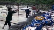 Tonlarca Balık Yakalama Yöntemi