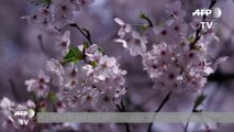 Les cerisiers sont en fleurs au Japon