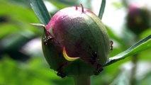 Ameisen-Blume