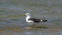 Bird of Cyprus: Larus fuscus ( Lesser black-backed gull - Mελανόγλαρος )
