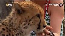 Cheetah attacked reporter. Cheetah attack the people! / Animal Attacks on Human - Nat Geo Wild ™