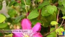 Clématite Ville de lyon - Pépinières TRAVERS - Spécialiste des plantes grimpantes