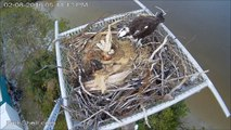 Ospreynest Lucy /Ricky 02/08/16 17:10 Ricky deliver a nice headless fish as supper to Lucy