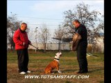 CH.Tiger Tattoo's Cool Hand Luke in protection dog training