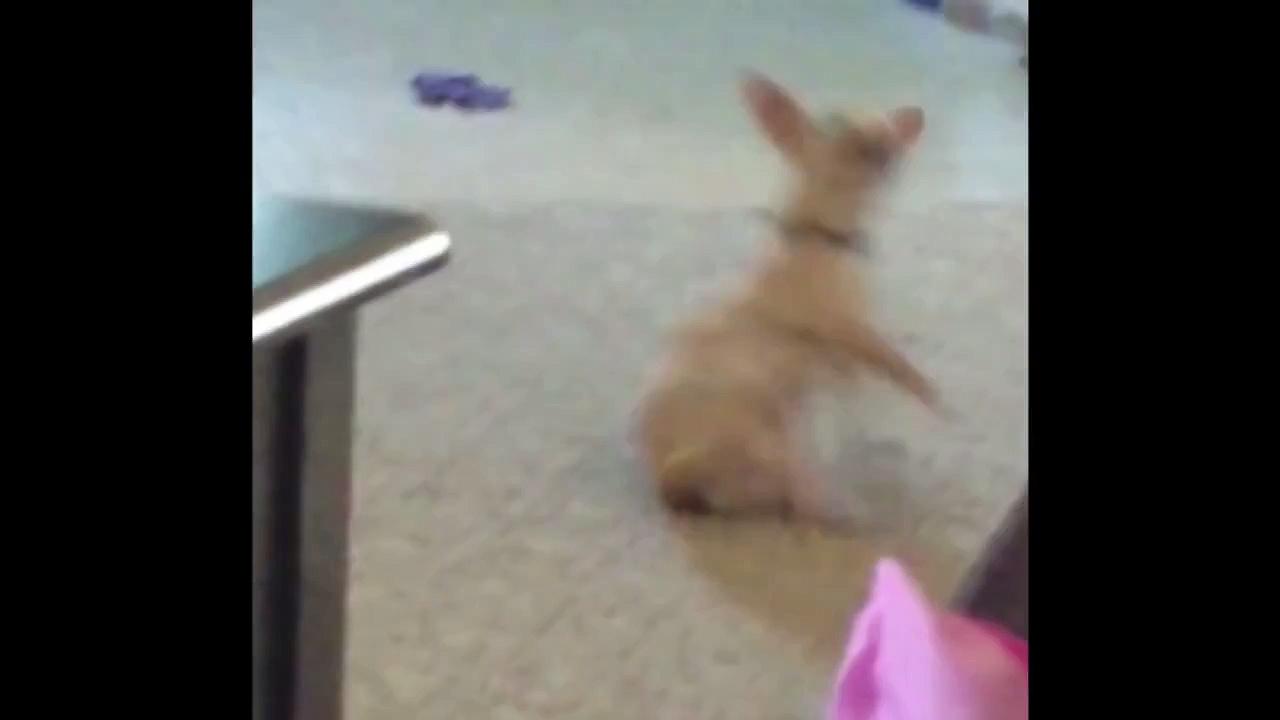 Chihuahua Has Impressive Dance Moves