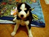 3 week old siberian husky puppies disciplined