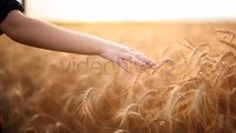Hand On Cereal Field 2 (Stock Footage)