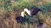 Pelagic Productions - Waved Albatross - Espanola Island, Galapagos Islands