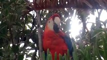 Flightless Macaw perched in tree!!