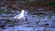 Herring Gull is fed / Zilvermeeuw gevoerd (Larus Argentatos)