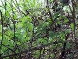 Mountain Gorillas Rwanda: Amahoro group (3)