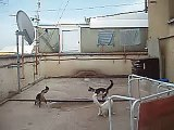 Gatti che giocano in una terrazza