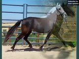 Horse Barb | Picture Ideas Of Horse Breed Barb