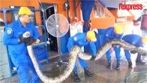 Cet énorme python capturé en Malaisie serait le plus gros serpent au monde