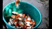 Piranha Fish Attack Human And Feeding Piranha Attacks Video Compilation   When Animals Attack 2015