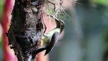 Ce bel oiseau nourrit ses bébés dans le nid