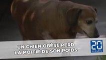 Un chien en surpoids parvient à perdre la moitié de son poids