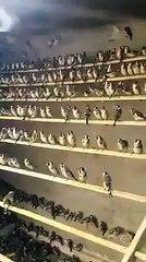élevage des chardonnerets en Algérie voilà peut être la solution pour laisse tranquille le chardonneret sauvage  de : Ad