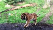 Quand 2 trè gros chats s embrouillent - Bagarre de tigres au zoo
