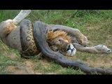 Lion vs Snake - Anaconda vs Felidae - Python vs Lion - Anaconda vs Cat - Anaconda vs Jaguar - Python vs Tiger