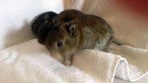 Netherlands Dwarf bunnies - 3 weeks old