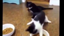 ---Funny Cat Fails Try not to Laugh 2016 - Best Funny Cats videos compilation try not to laugh 2016 - Dailymotion