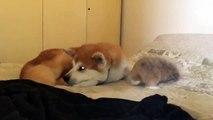Ce lapin pourrit la vie de ce pauvre chien qui dort