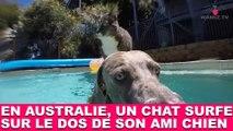 En Australie, un chat surfe sur le dos de son ami chien ! À voir dans la minute chat #188