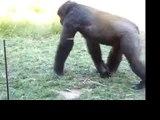 Gorilla Crazy Fight! Watch it!Gorila loco lucha!