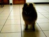 Deceive a Dog - Pomeranian
