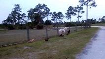 Cette meute de teckels qui galope aux côtés d'un cheval miniature!