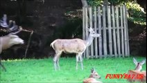Deer mating Females Deers Jumping trying to mate like humans Funny