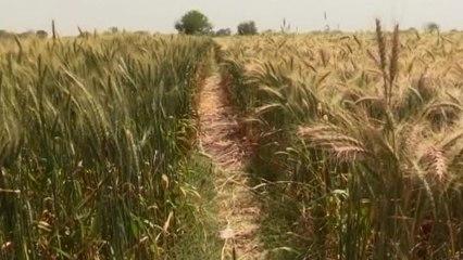 Una tecnología de riego de los 50 aumenta la productividad de las cosechas egipcias