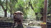 Mama Pig Almost Dies To Save Her 13 Babies. The Next Surprise Even The Farmer Never Saw Coming