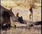 Lion attack Crocodiles   Crocodile kills Lion,Eat Lion vs crocodile 2016