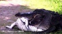 Un crocodile en bouffe un autre dans la Jungle !