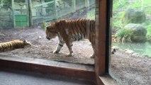 Il ne faut pas réveiller un tigre qui dort profondément !